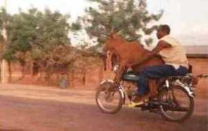 sapi_naik motor
